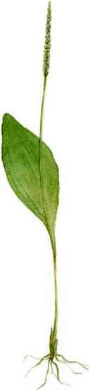 Ophioglossum vulgare