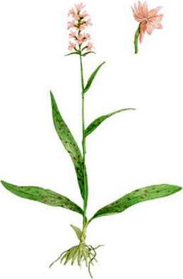 Dactylorhiza baltica