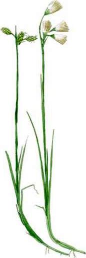 Eriophorum gracile