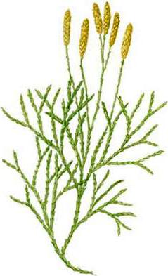 Lycopodium_tristachyum