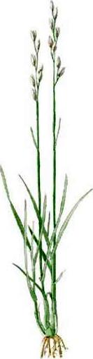 Sieglingia decumbens
