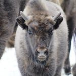 bison-bonasus-02_10-02-2016