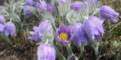 Сон-трава (фото -Анна Гладилкина)