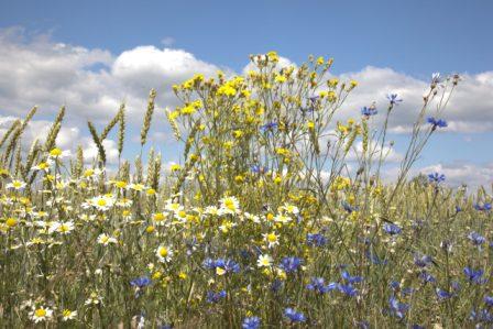 «И куда не посмотришь- всё цветы полевые!» Автор фото: Ирина Романова